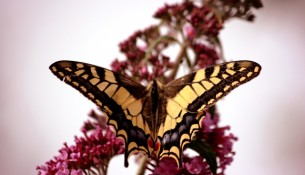 vlinder koniginnepage oisterwijk vlindertelling